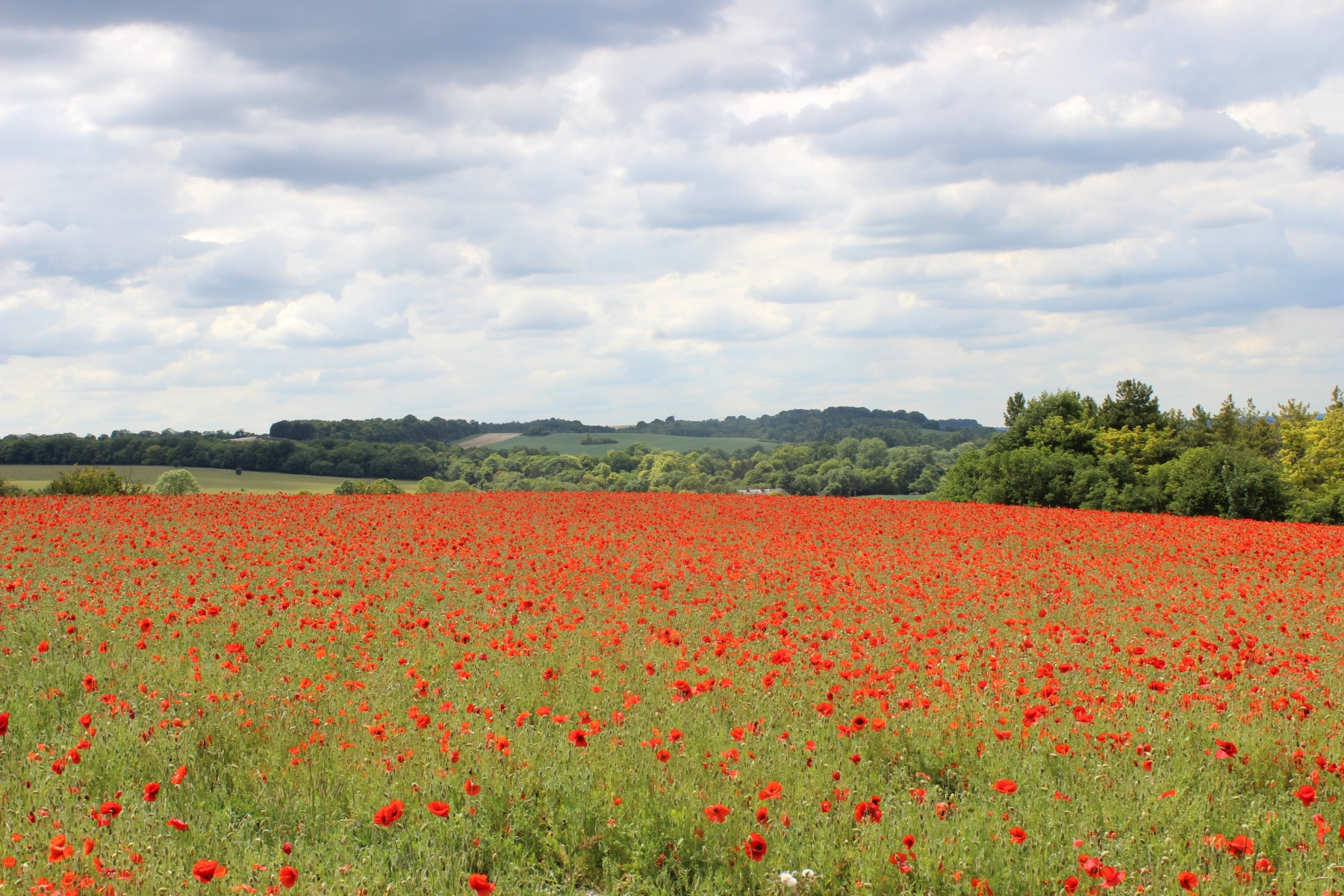 Poppies near Pegsdon 2020